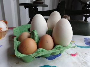 Goose eggs with chicken eggs